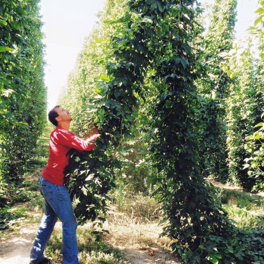 Joel Picking The Hops In Yakima