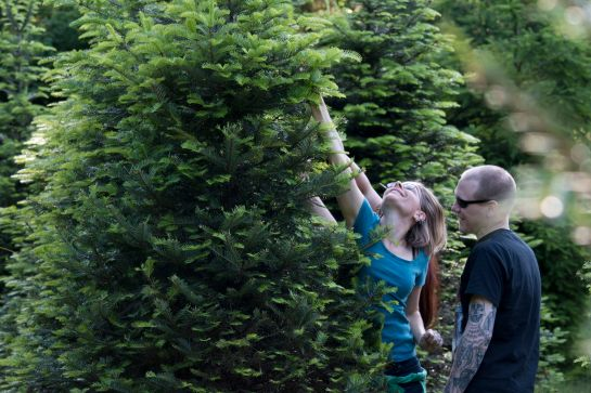 Fir Picking At Earth & Sky Farm